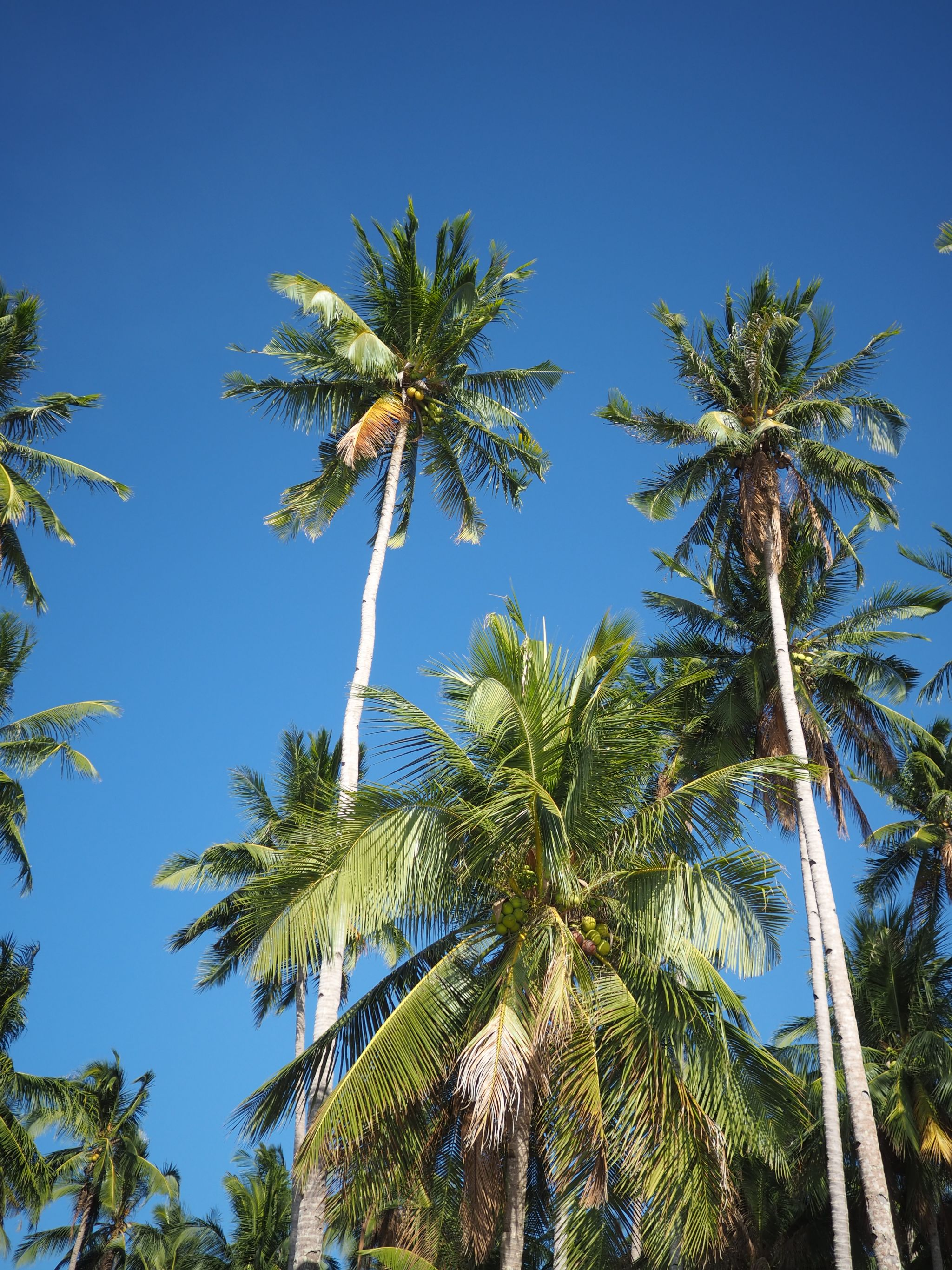 Philippines palm trees