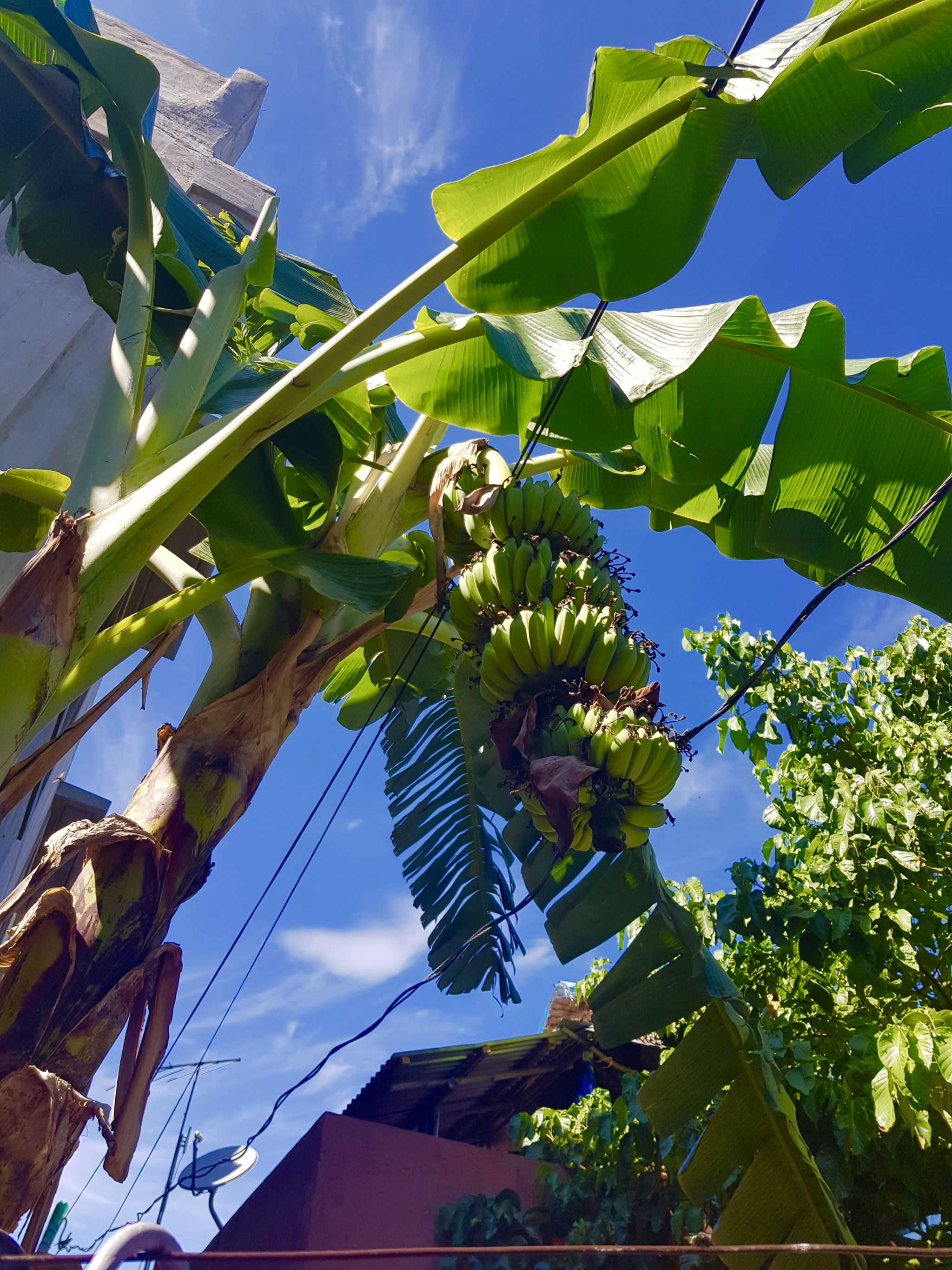 Philippines banana tree